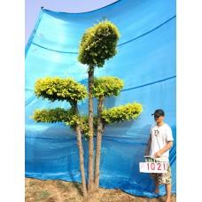 衡水德润景观 大型金叶榆造型树/别墅庭院景观树