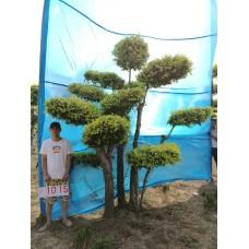 衡水德润景观  金叶榆造型树/大型风景树/室内景观树