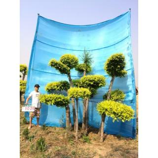 衡水德润景观 造型金叶榆/景观造型树/景观树设计