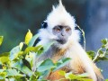世界最稀有的猴类——白头叶猴