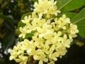 桂花:集绿化、美化、香化于一体且观赏与实用兼备