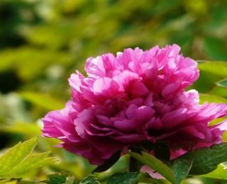 中国十大名花