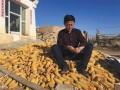 """内蒙古农民无证收购玉米被判非法经营罪,从""""有罪""""到""""无罪"""" """"玉米案""""尘埃落定。"""