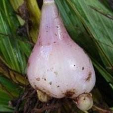 冰球子提取物 山慈菇提取物粉 独蒜兰块茎粉 山慈菇
