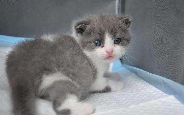 我國首只克隆貓誕生:健康良好即將滿月